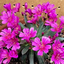 Lewisia l. 'Little Raspberry'