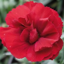 Dianthus SuperTrouper 'Red' TM