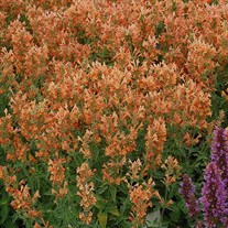 Agastache POQUITO Orange