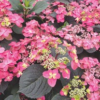 TUFF STUFF™ Red Hydrangea - Mountain