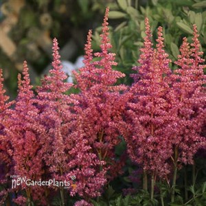 Astilbe 'Rise and Shine'