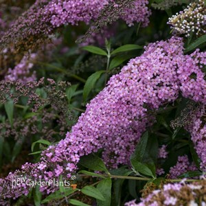 Buddleia 'Pink Cascade' PP30711 Cascade Collection