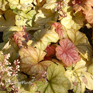 'Champagne' Coral Bells