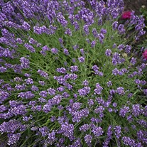 SuperBlue English Lavender