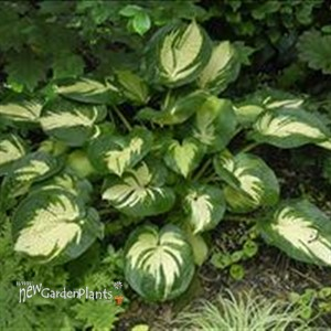 'Great Expectations' Hosta