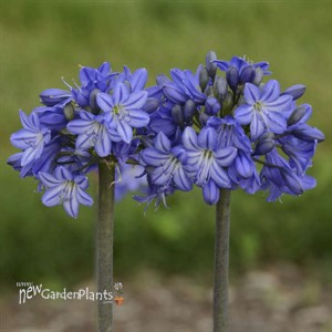 Agapanthus 'Galaxy Blue' Galaxy Collection