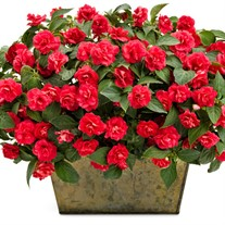 Rockapulco® Red Double Impatiens