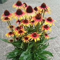 'Fine Feathered Parrot' Coneflower