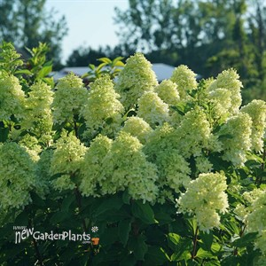 Hydrangea Limelight Prime® Panicle