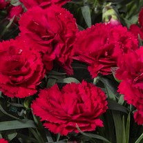 Dianthus Constant® Beauty Red