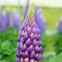 Lupinus Westcountry 'Magic Lantern'