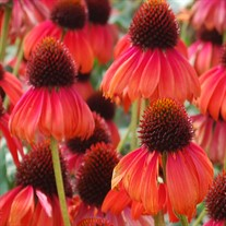 'Firebird' Coneflower