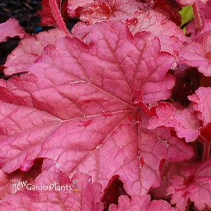 'Berry Smoothie' ppaf Coral Bells
