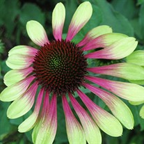 'Green Envy' Coneflower