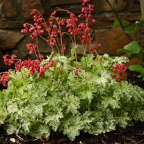 'Snow Angel' Coral Bells