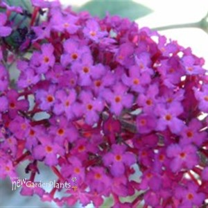 Butterfly Bush 'Attraction'