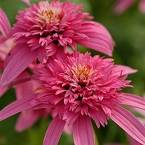 'Pink Double Delight' Coneflower