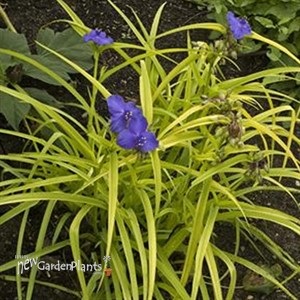 how to get rid of spiderwort plant