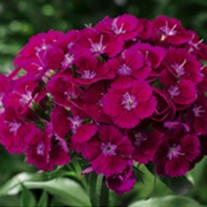 Barbarini Purple Hardy Sweet William