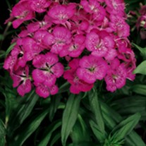 'Rose' Sweet William