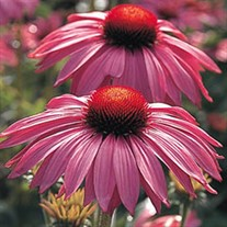 Coneflower 'Primadonna Deep Rose'