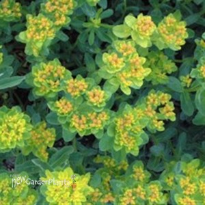 Cushion Spurge