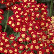 'Strawberry Seduction' Achillea pp18401