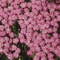 'Pink Grapefruit' Yarrow