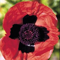 'Brillant' Poppy
