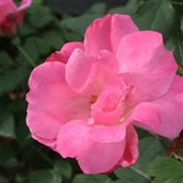 'Pink Knock Out' Rose
