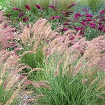 Oriental Fountian Grass 'Karley Rose'
