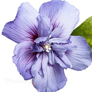 39 blue chiffon 39 hibiscus hibiscus 39 blue chiffon 39 tm. Black Bedroom Furniture Sets. Home Design Ideas