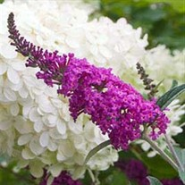 Butterfly Bush 'Miss Ruby'