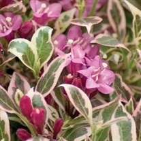 'My Monet' Weigela