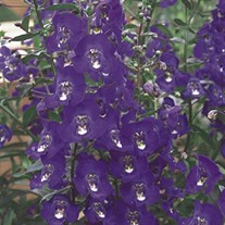 'Angelface Blue' Angelonia