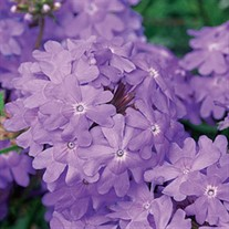 Superbena®Large Lilac Blue