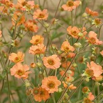 'Totally Tangerine' Avens
