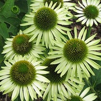 'Green Jewel' Coneflower