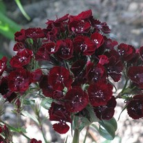 'Heart Attack' Sweet William