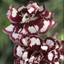 'Coconut Punch' Sweet William