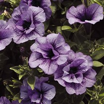 Supertunia® 'Priscilla'®