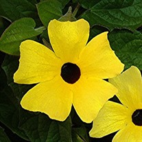LEMON W/ BLACK EYE SUSAN VINE