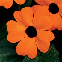Orange Black-Eyed Susan Vine