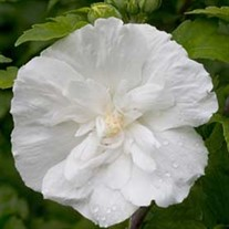 White Chiffon™ Rose of Sharon