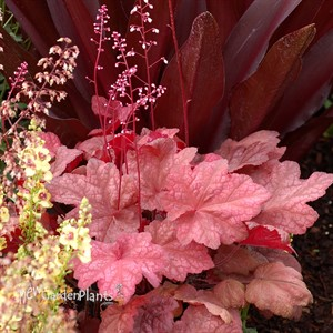 'Autumn Leaves' Coral Bells