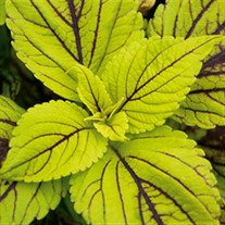 'Gay's Delight' Coleus