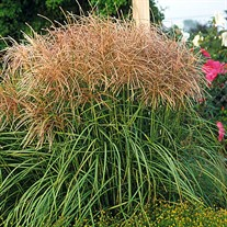 'Huron Sunrise'  Maiden Grass