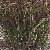 'Prairie Fire' Red Switch Grass