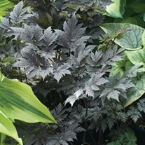 'Chocoholic'  Black Snakeroot