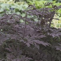 'Hillside Black Beauty' Black Snakeroot